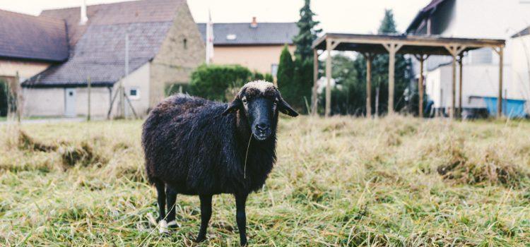 Schafpatenschaft übernehmen