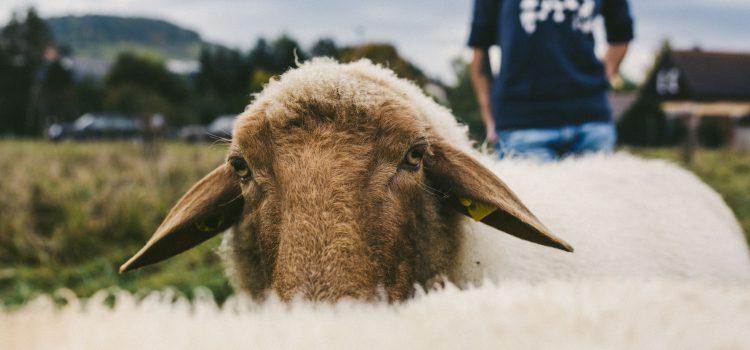 Schafpatenschaft verschenken