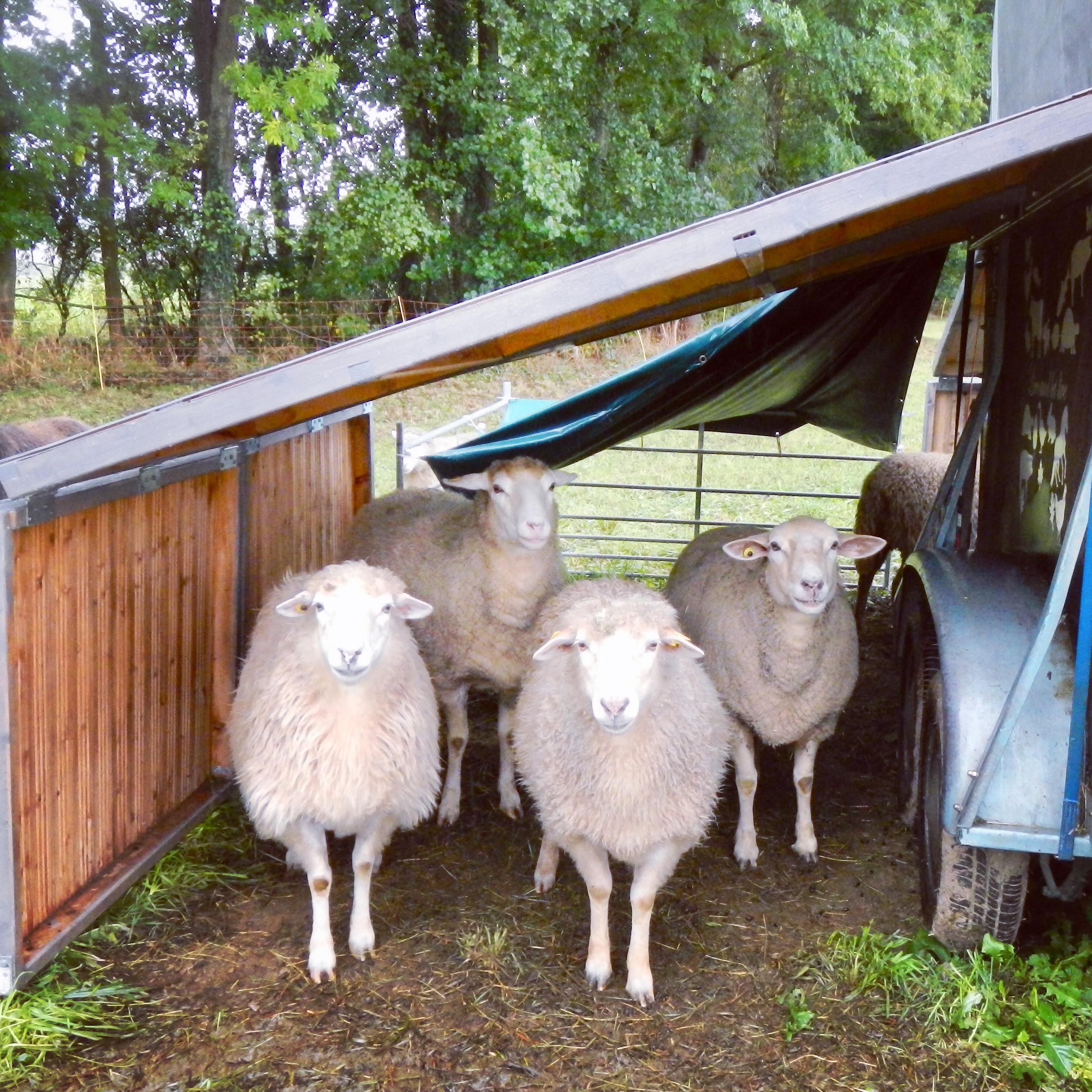 Jetzt helfen und eine Schafpatenschaft für die geretteten Schafe von Live and let live übernehmen
