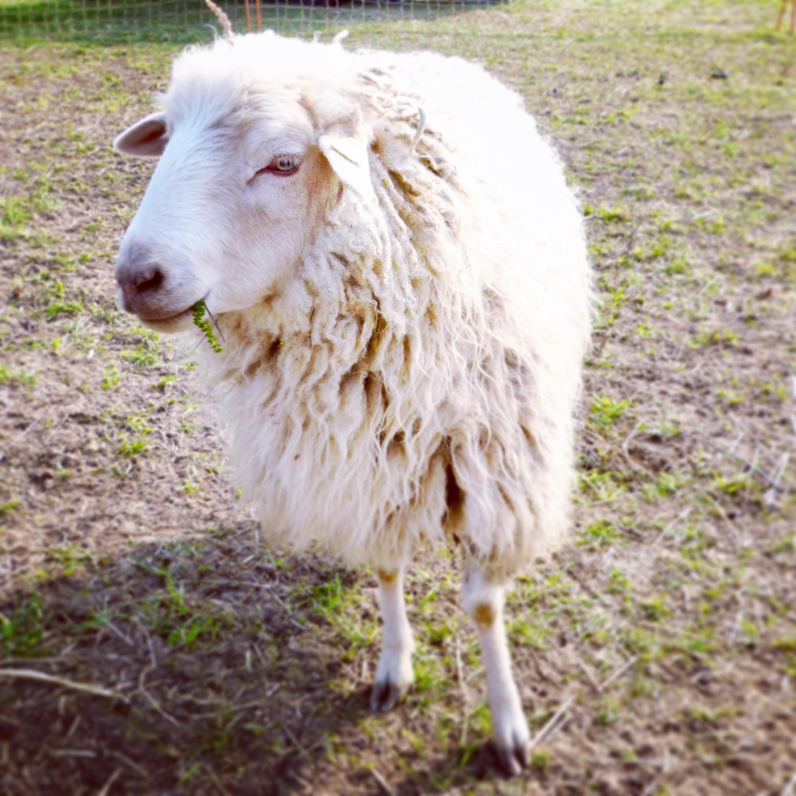 Jetzt eine Schafpatenschaft für Heidschnucke Schaf Peter übernehmen
