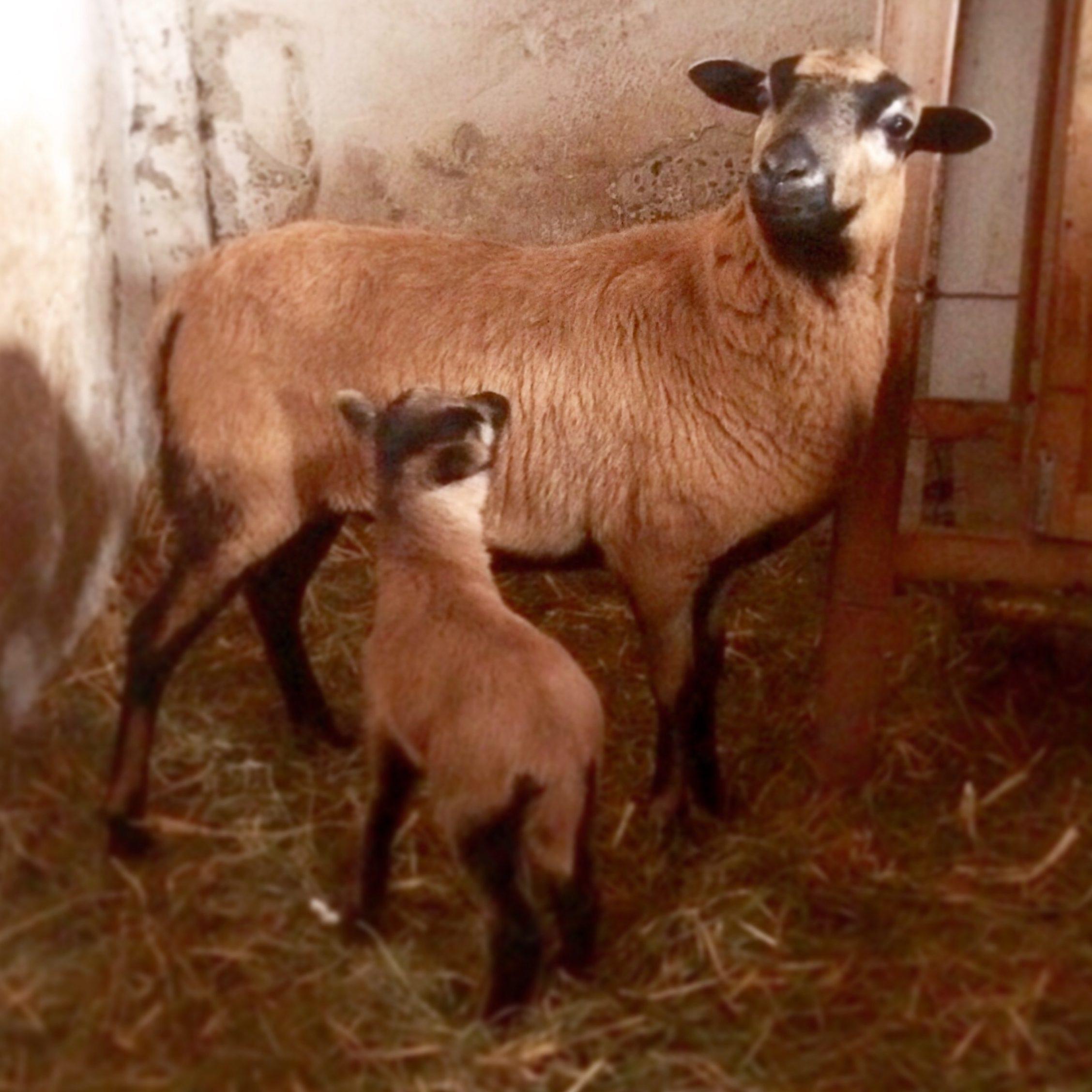 Schafpatenschaft übernehmen für Schaf Carlo