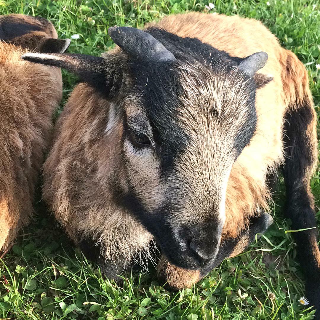 Tierpatenschaft als Geburtstagsgeschenk zum Beispiel für Kamerun Schaf Carlo