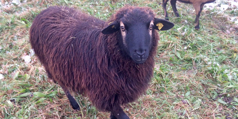 Schafpatenschaft für das gerettete Schaf Easy übernehmen