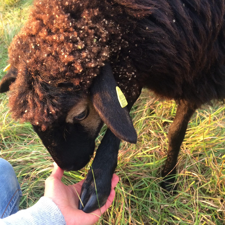 Tierpatenschaft verschenken - zum Beispiel für Schaf Easy