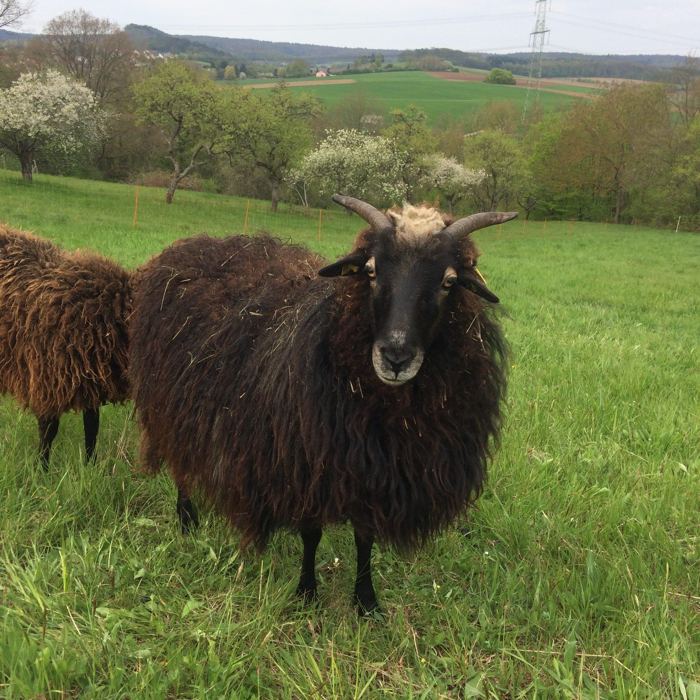 Jetzt Schafpatenschaft übernehmen für Schaf Erna