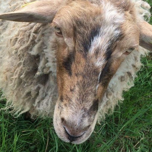 Schafpatenschaft für Füchsle übernehmen