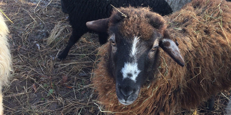 Schafpatenschaft übernehmen für Schaf Cookie
