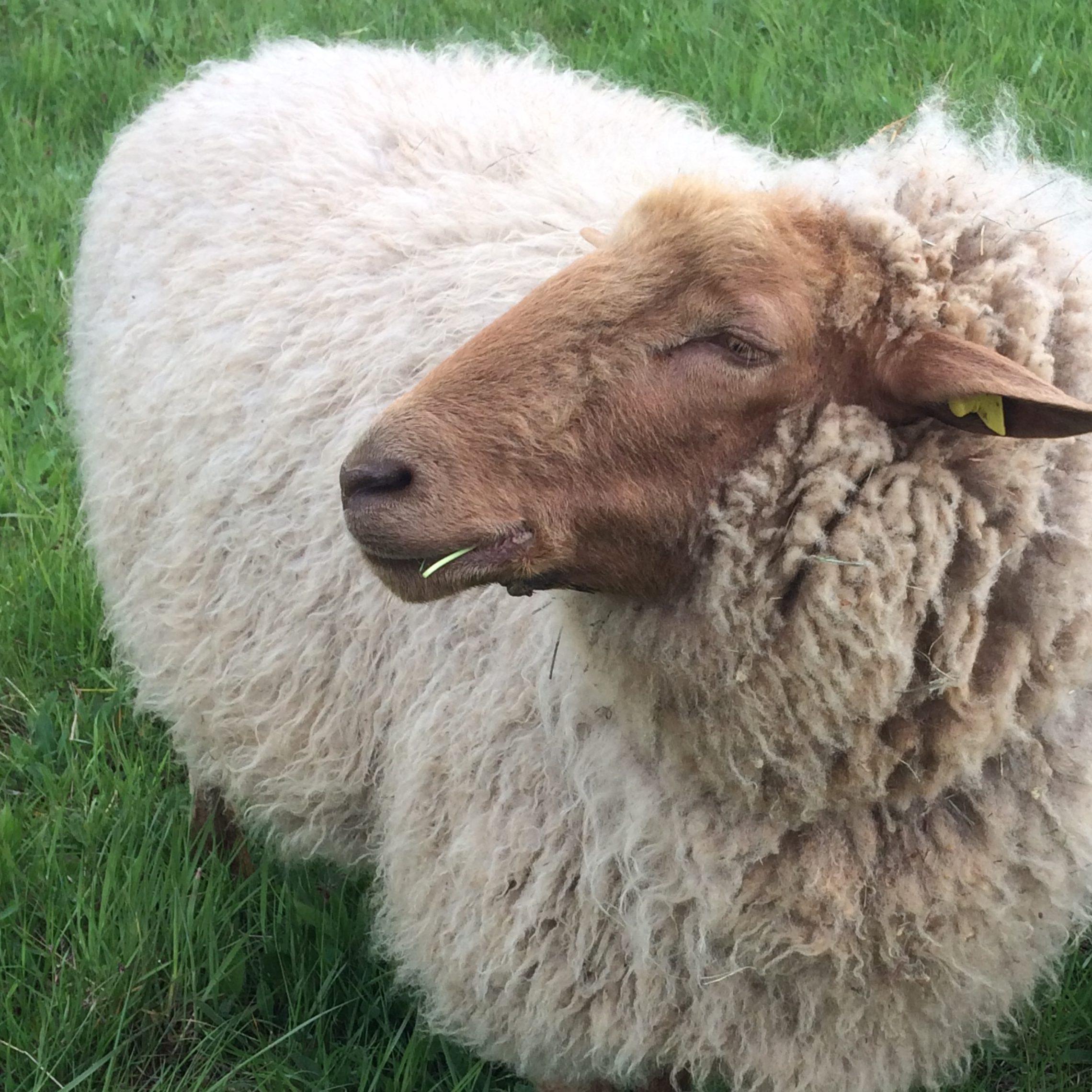 Jetzt Schafpatenschaft übernehmen für Coburger Fuchs Schafbock Michl