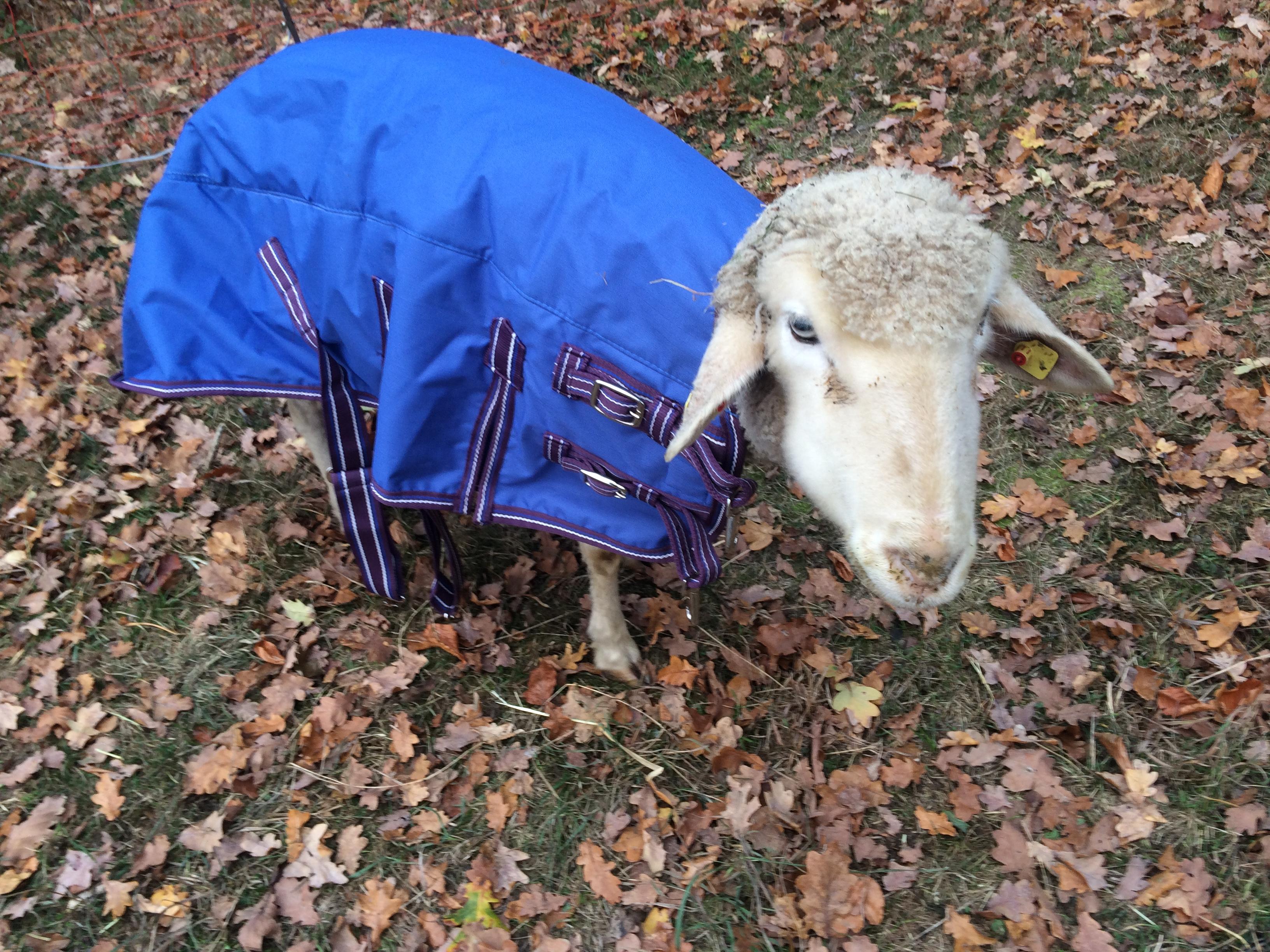 Oma Klara Tierpatschaft oder Patenschaft für ein Schaf übernehmen