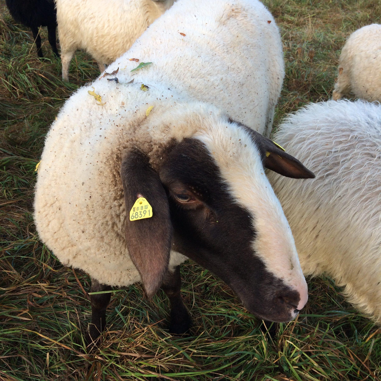 Schafpatenschaft für Schaf Lackl übernehmen