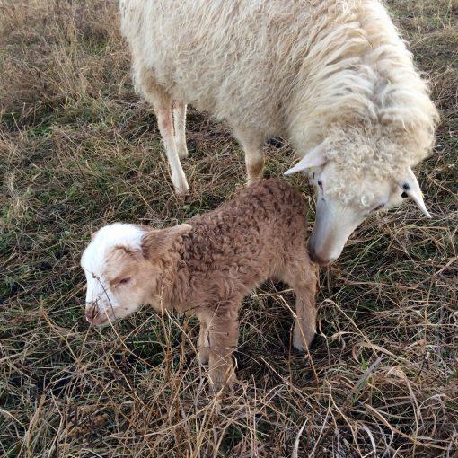 Jetzt Schafpatenschaft übernehmen für Schaf Mini