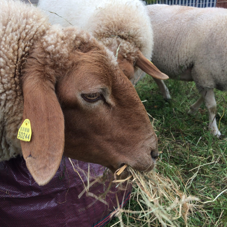 Jetzt eine Schaf Patenschaft für Rosi übernehmen
