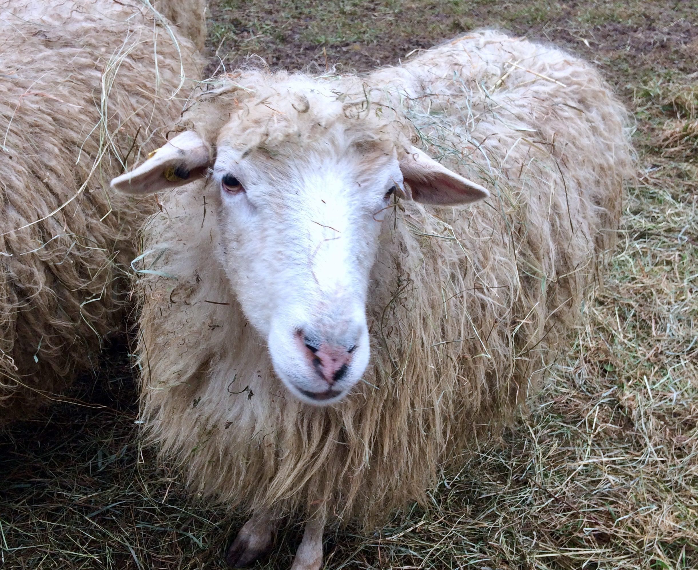 Jetzt Schafpate für Schaf Schlitzohr werden