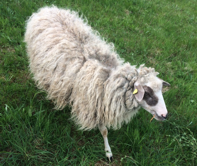 Jetzt Schafpatenschaft übernehmen für Schaf Schnuckle