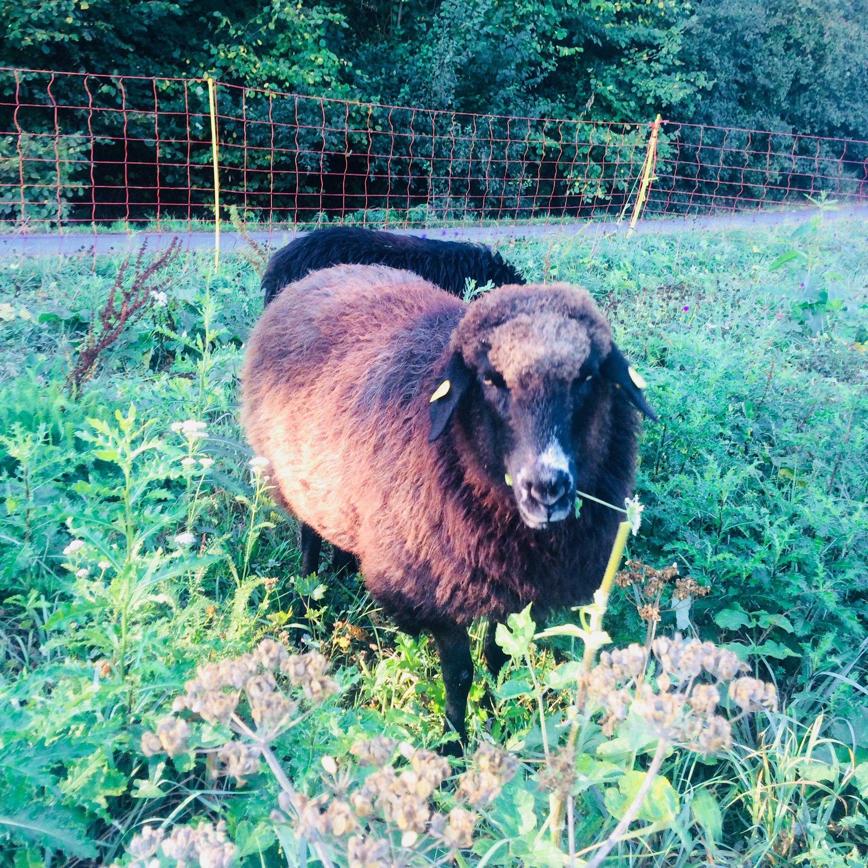 Jetzt Patenschaft für Schaf Muffin übernehmen und Tieren helfen!