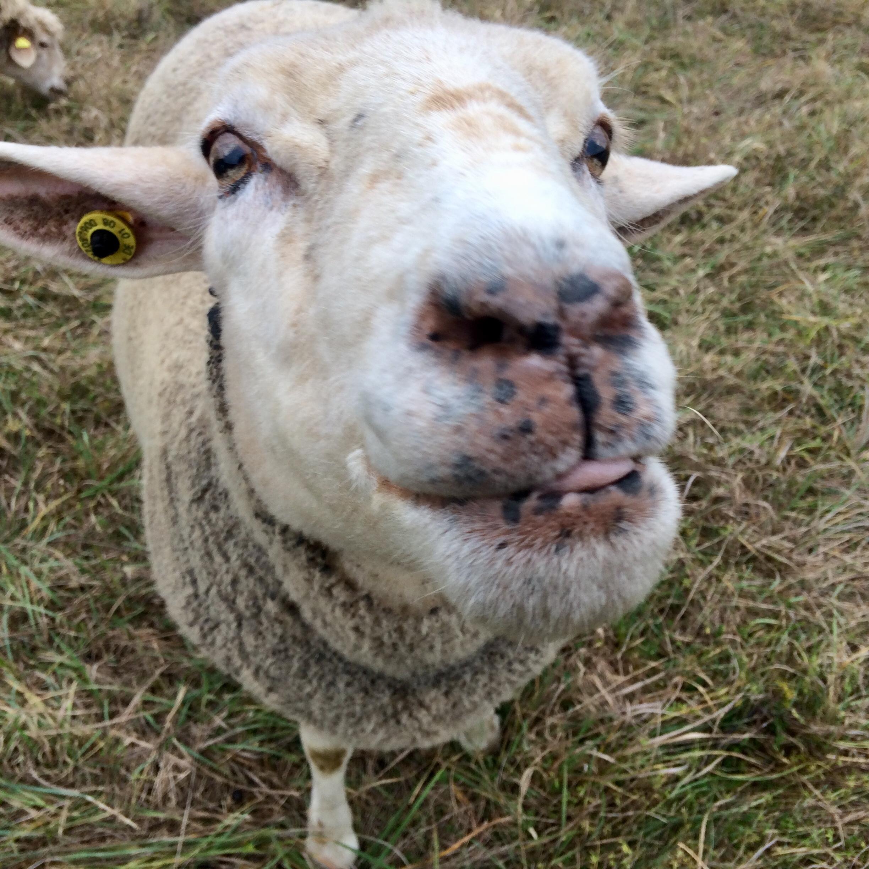 Jetzt Live and let live Schafpatenschaft für Schaf Paula übernehmen