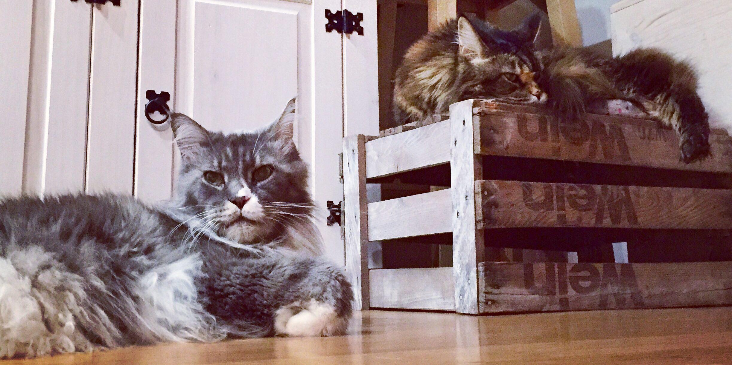 Maine Coon Katzen Vicky und Vivaldi leben nun ebenfalls bei Live and let live