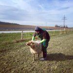 Schaf Patenschaft verschenken und Tieren helfen und Menschen eine Freude machen