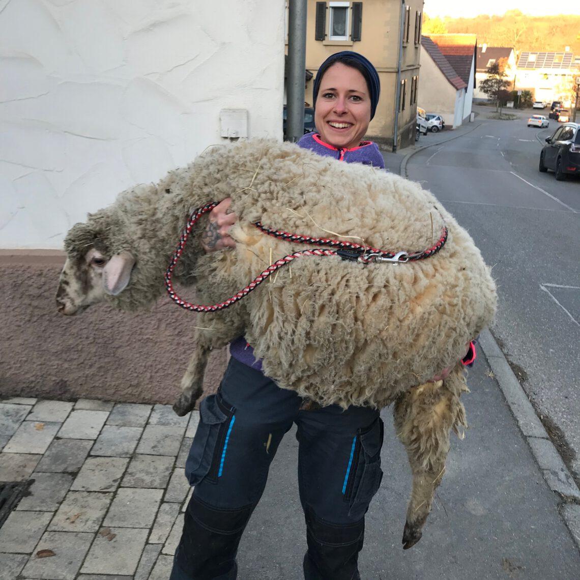 Rettung von Schafbock Jakob. Jetzt Patenschaft übernehmen oder Schafpatenschaft verschenken!